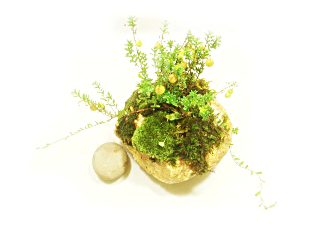 画像1: 伊予鉢 上尾白 斑入り水陸両用四葉のクローバー+クランベリー(大実つるこけもも)+やまごけ+はいごけ混