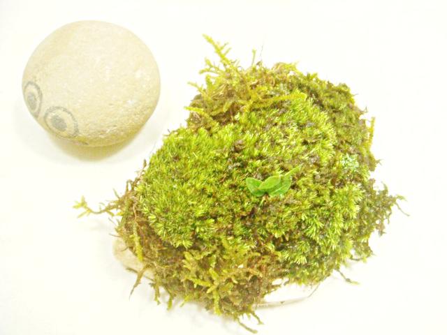 画像1: 伊予鉢 上尾白 おもこさん 山苔+はいごけ+生水苔+つげ?の苗