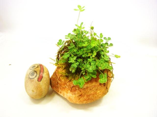 画像1: 伊予鉢 蟻の木縞 5センチ穴 しのぶ苔+斑入り水陸両用四葉のクローバ