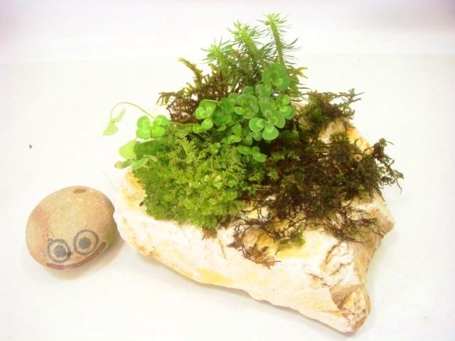 画像1: 伊予鉢 上尾白 しのぶ苔+斑入り水陸両用四葉のクローバ+杉苔お化け?+くっしょんもす+ほか