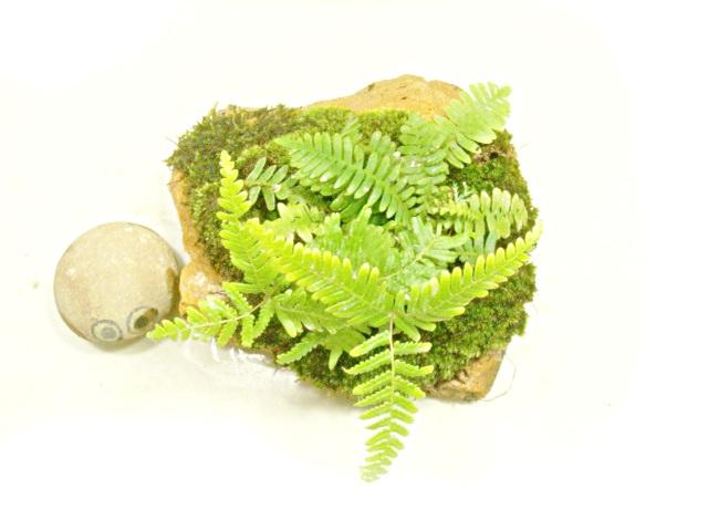 画像1: 伊予鉢 茶しま おもこさん ひのき苗+山苔+はいごけ+しだはおまけ