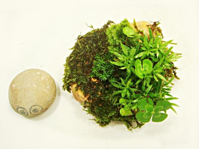 画像1: 伊予鉢 上尾桃柿 しのぶ苔+斑入り水陸両用四葉のクローバ+杉苔お化け?+杉苔+はいごけ