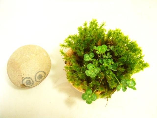 画像1: ミニ伊予鉢 水が好きな苔、斑入り水陸両用四葉のクローバ