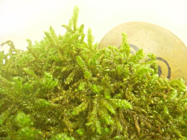 画像1: 伊予や山城國の砥石山のこけ いろいろ