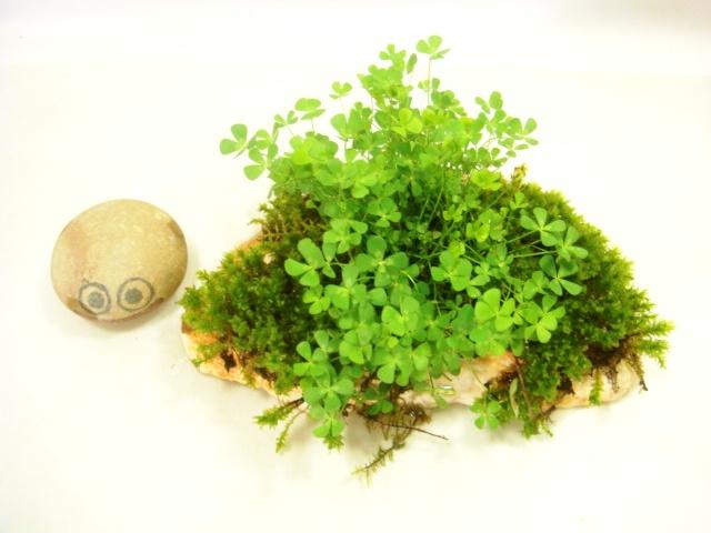 画像1: 伊予鉢 上尾桃 5cm穴 つぼ苔?+斑なし水陸両用四葉のクローバ