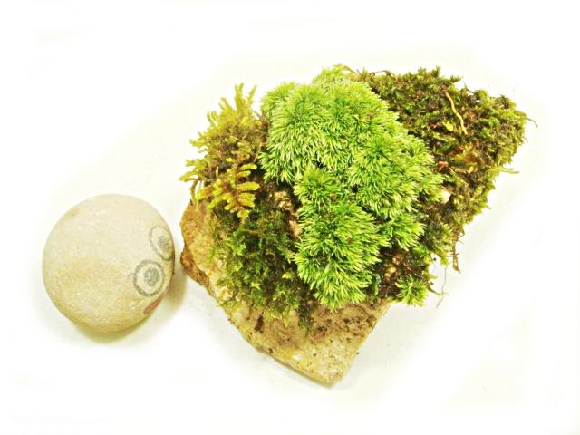 画像1: 伊予鉢 上尾白 おもこさん 山苔+はいごけ+生水苔 縞原石